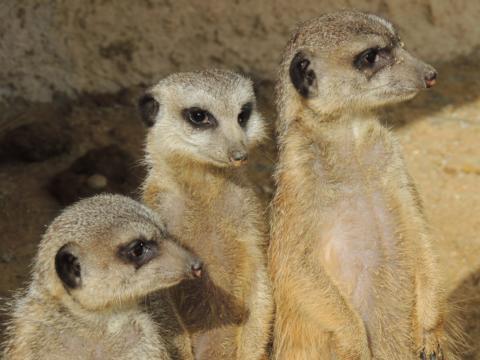 Erdmännchen schauen gespannt im Tierpark. JUFA Hotels bietet kinderfreundlichen und erlebnisreichen Urlaub für die ganze Familie.