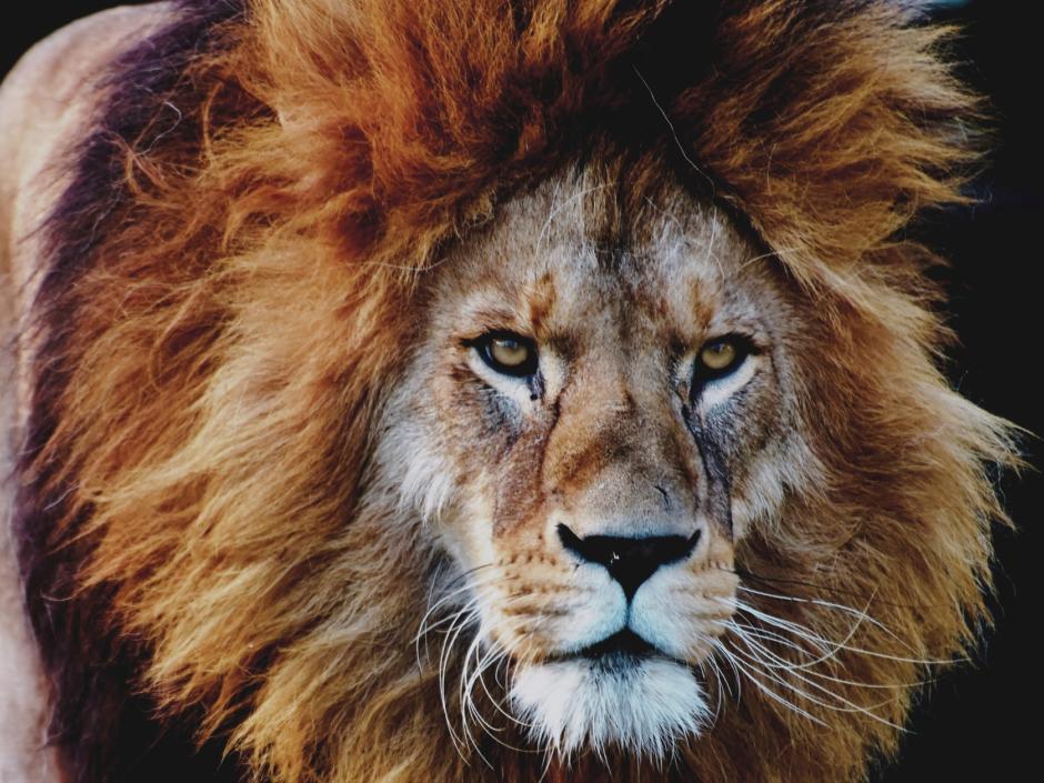 Sie sehen einen Löwen in einem Tierpark / einem Zoo