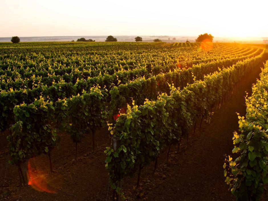 Sie sehen einen Weingarten im Blaufränkischland im Burgendland. JUFA Hotels bietet Ihnen den Ort für erlebnisreichen Natururlaub für die ganze Familie.