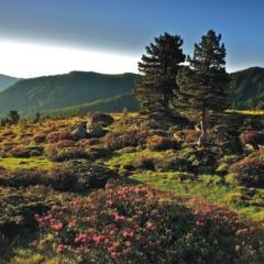 Zirbenlandschaft im Nationalpark Nockberge im Sommer. JUFA Hotels bietet Ihnen den Ort für erlebnisreichen Natururlaub für die ganze Familie.