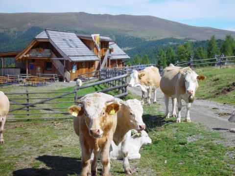 Kühe auf der Weide vor der Hiasl Zirbenhütte in Sirnitz in Kärnten in der Nähe von JUFA Hotels. Der Ort für erholsamen Familienurlaub und einen unvergesslichen Winter- und Wanderurlaub.