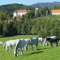Lipizzaner grasen auf der Weide beim Lipizzanergestüt Piber in der Steiermark in der Nähe vom JUFA Hotel Maria Lankowitz. Der Ort für erholsamen Familienurlaub und einen unvergesslichen Winter- und Wanderurlaub.