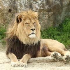 Löwe im Tierpark Herberstein im Pöllauer Tal. JUFA Hotels bietet Ihnen den Ort für erlebnisreichen Natururlaub für die ganze Familie.