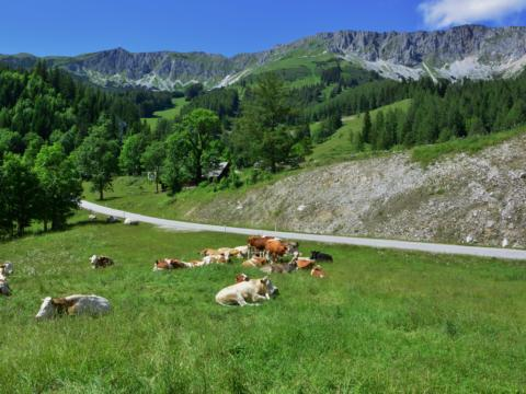 Kühe auf der Weide im Wanderparadies Veitsch-Brunnalm in der Nähe vom JUFA Hotel Veitsch. Der Ort für erholsamen Familienurlaub und einen unvergesslichen Winter- und Wanderurlaub.