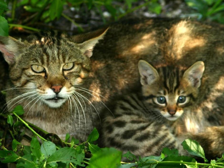 Wildkatze mit Jungtier im Cumberland Wildpark Grünau in der Nähe vom JUFA Hotel Almtal. Der Ort für erholsamen Familienurlaub und einen unvergesslichen Winter- und Wanderurlaub.