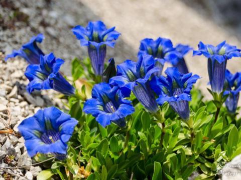 Im Alpengarten Bad Aussee können der Blaue Enzian und viele andere wunderschöne Alpenblumen bewundert werden. JUFA Hotels bietet Ihnen den Ort für erlebnisreichen Natururlaub für die ganze Familie.
