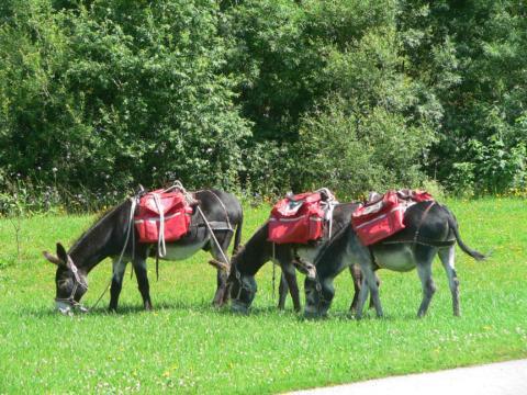 Drei Esel grasen auf einer grünen Wiese beim EselReich in Mariazell in der Hochsteiermark. JUFA Hotels bietet kinderfreundlichen und erlebnisreichen Urlaub für die ganze Familie.