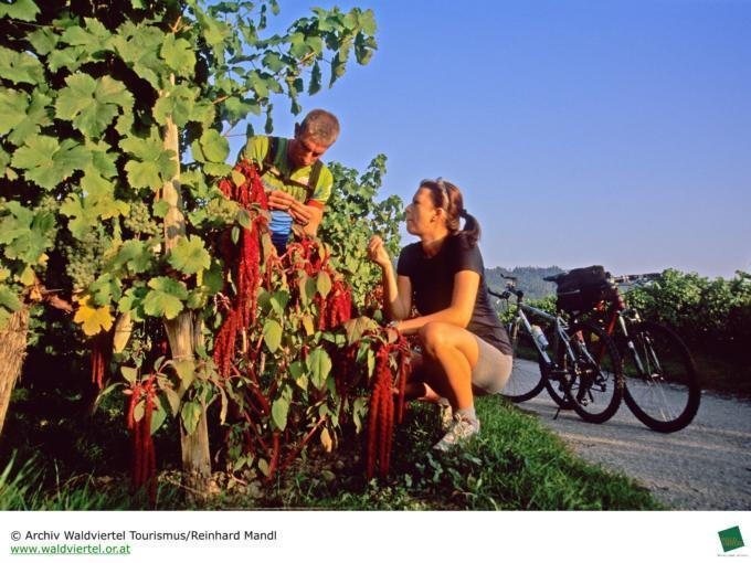 Sie sehen  Radfahrer am Radweg durch Weingärten  im Weinviertel. JUFA Hotels bietet Ihnen den Ort für erlebnisreichen Natururlaub für die ganze Familie.