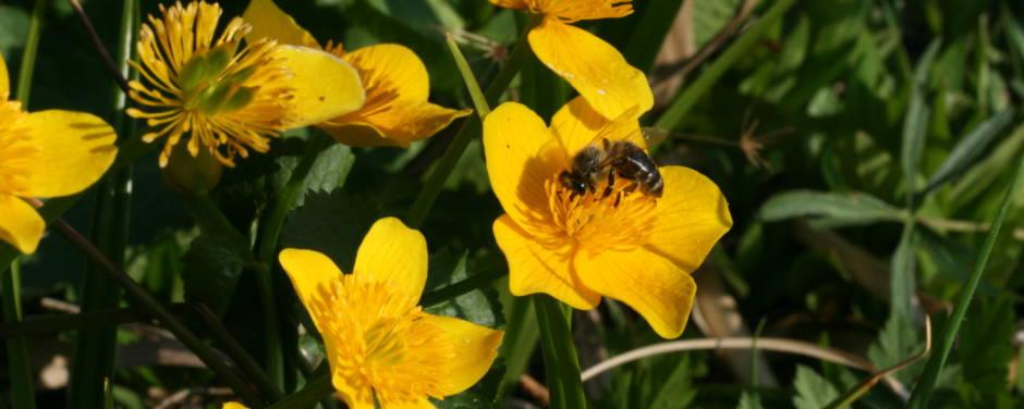 Sie sehen eine Biene in einer Blumenwiese im Naturpark Pöllauer Tal. JUFA Hotels bietet Ihnen den Ort für erlebnisreichen Natururlaub für die ganze Familie.