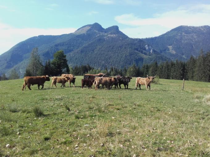 Sie sehen Rinder von Bio-Rindfleisch Bauernhof Amtmann-Kefer in Grünau. JUFA Hotels bietet kinderfreundlichen und erlebnisreichen Urlaub für die ganze Familie.