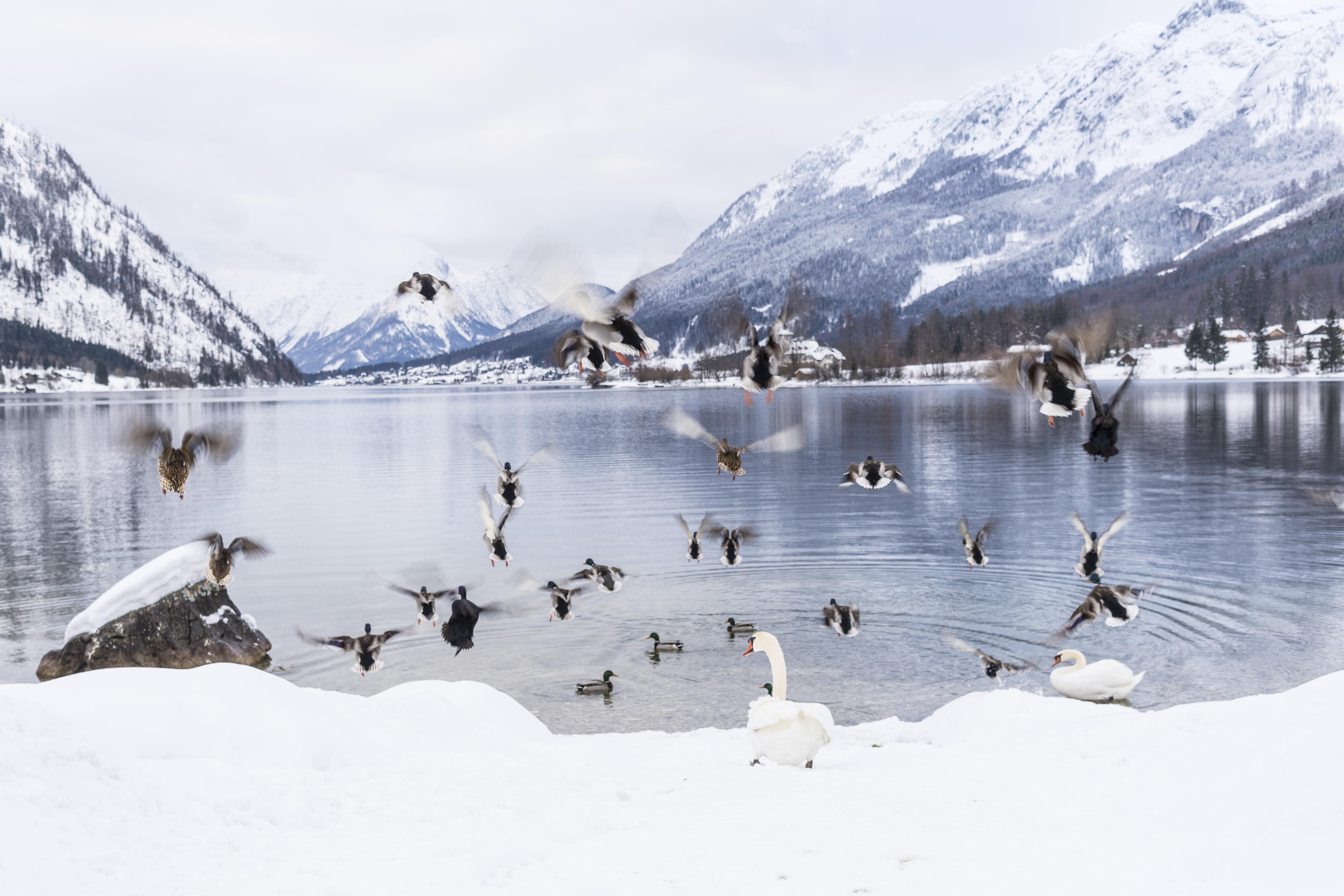 Sie sehen den Grundlsee mit Enten und Schwänen im Winter. JUFA Hotels bietet erholsamen Familienurlaub und einen unvergesslichen Winterurlaub.