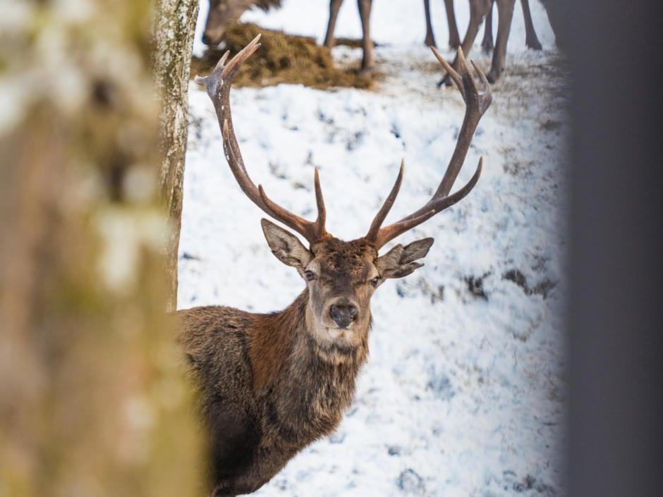 Sie sehen einen Hirsch mit Geweih im Nationalpark Gesäuse im Schnee im Winter.