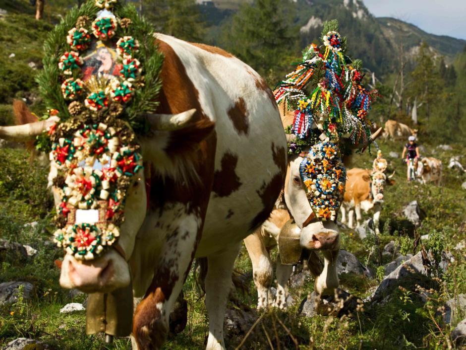 Sie sehen Kühe bei einem Almabtrieb im Salzburger Land. JUFA Hotels bietet Ihnen den Ort für erlebnisreichen Natururlaub für die ganze Familie.