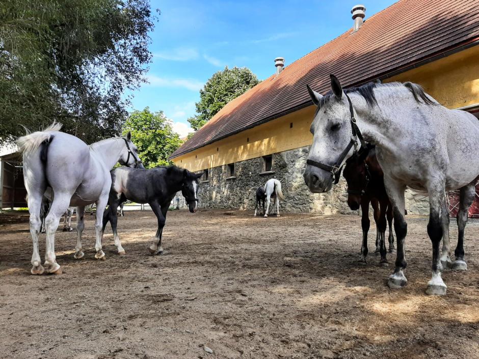 Sie sehen Lipizzaner Pferde aus dem Gestüt Piber. JUFA Hotels bietet erholsamen Familienurlaub und einen unvergesslichen Winter- und Wanderurlaub.