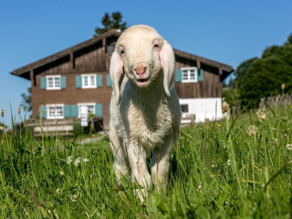 Sie sehen ein Schaf vor dem Bergbauernmuseum in Diepolz im Sommer. JUFA Hotels bietet kinderfreundlichen und erlebnisreichen Urlaub für die ganze Familie.
