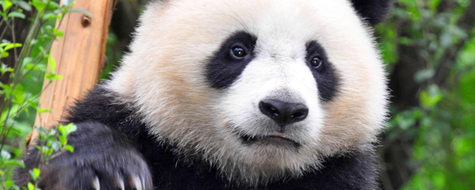 Panda in der Natur