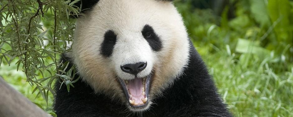 Ein Pandabär im Tiergarten Schönbrunn in der schönen Stadt Wien. JUFA Hotels bietet erlebnisreichen Städtetrip für die ganze Familie und den idealen Platz für Ihr Seminar.