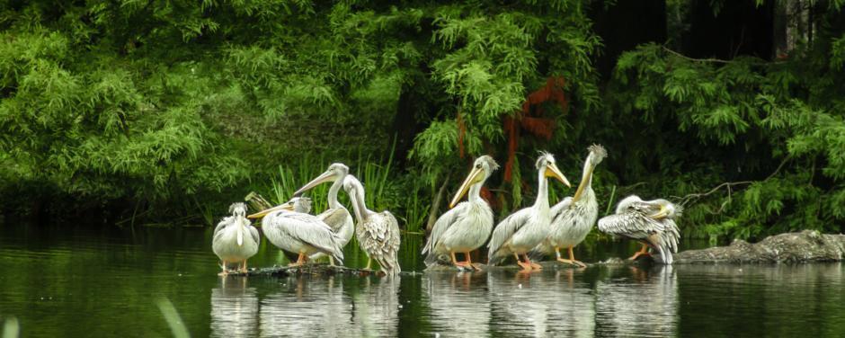 Der Tierpark Hagenbeck ist ein Erlebnis für die ganze Familie, wo man Pelikane im Wasser sitzend beobachten kann. Es eignet sich ideal als Tagesausflug vom JUFA Hotel Hamburg HafenCity.