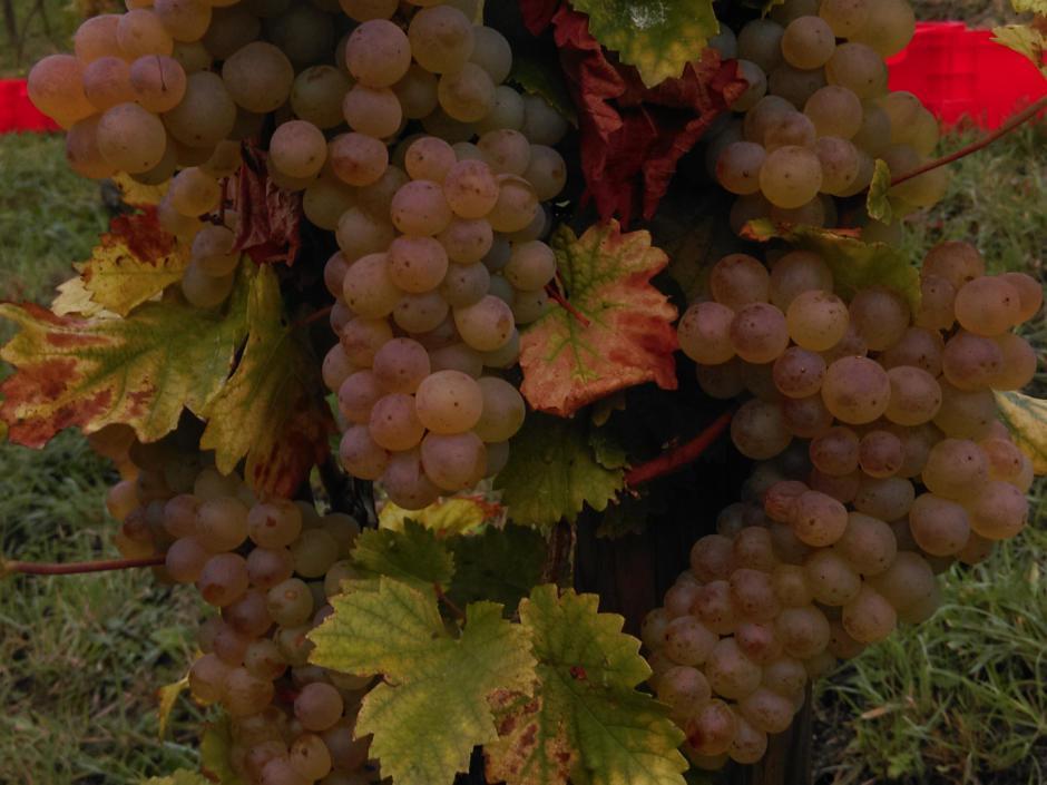 Sie sehen eine Weinrebe mit Weintrauben in Königswinter im Siebengebirge. JUFA Hotels bietet erholsamen Familienurlaub und einen unvergesslichen Winter- und Wanderurlaub.