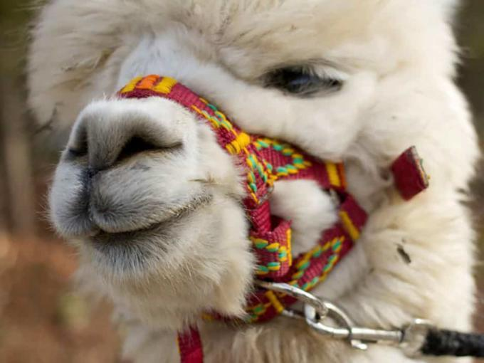 Weißes Alpaka schaut in die Kamera. JUFA Hotels bieten erholsamen Familienurlaub und einen unvergesslichen Winter- und Wanderurlaub.